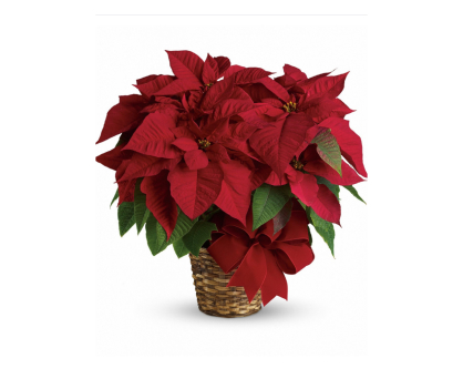 Poinsettia (Christmas star). Shop in Ukrainian Marriage Agency.